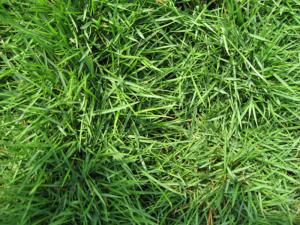 daphne-al-lawn-care-zoysia-grass