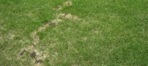 daphne-al-lawn-moles