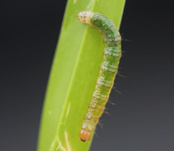 tropical sod webworms daphne al